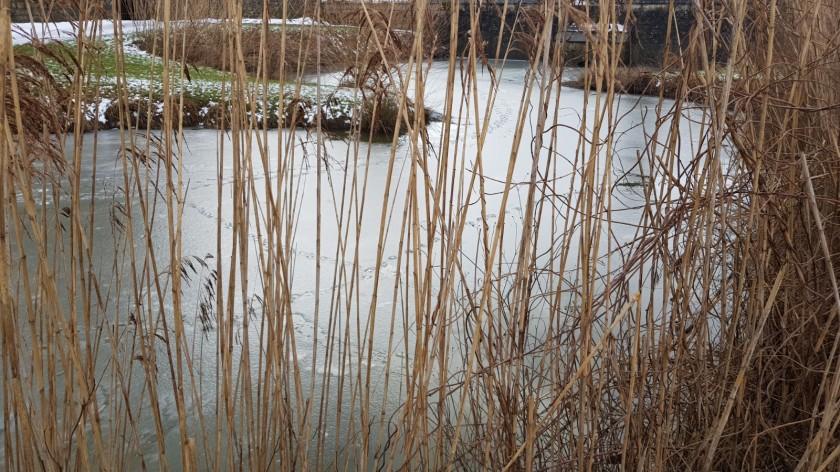 Blick durch das Schilf auf Entenspuren auf dem noch gefrorenen Teich