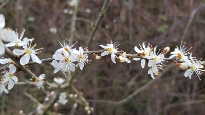 Frühlingsboten! ein weiss blühender Strauch