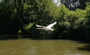 Ein fliegender Schwan ist sowas von elegant. Erstaunlich bei einem doch relativ schweren Vogel