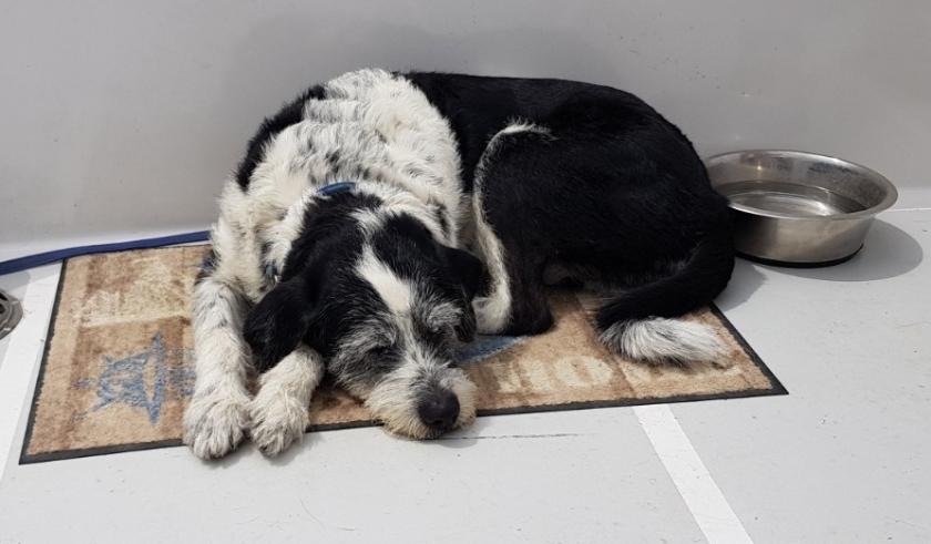 Schwarz-weisser Hund Janusz, erschöpft - die Frage ist wovon? Er liegt hier gemütlich an Deck und döst