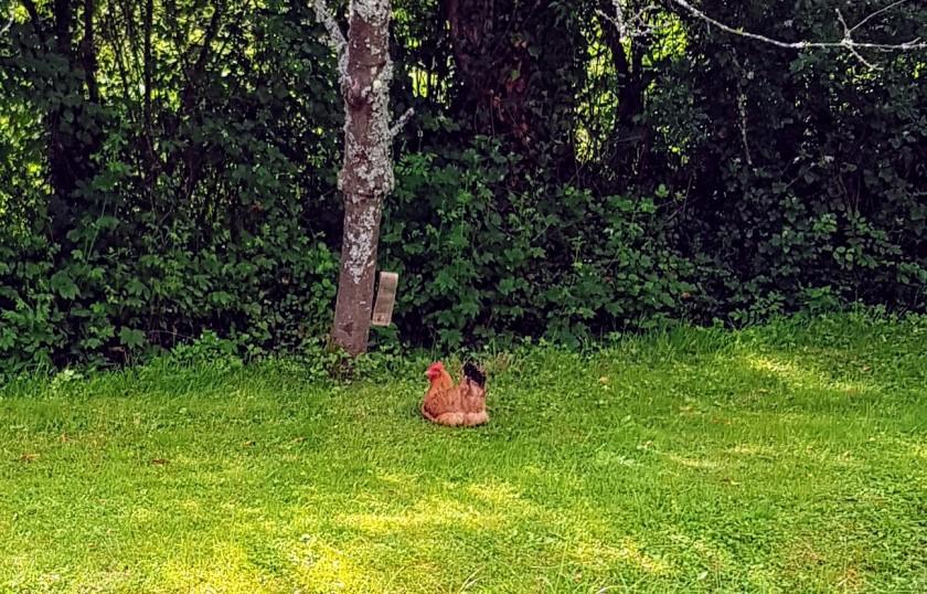 Ein Huhn am Kanalufer im Gras und Schatten - brütet oder ruht es sich aus?
