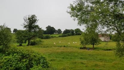 Die Weiden sind naturbelassen und riesig mit Hecken, Bäumen und Bächen - Charolais-Rinder überall