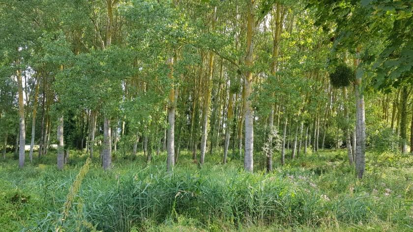 Blick in einen Espenwald, schade kann man das Rascheln der Blätter nicht hören