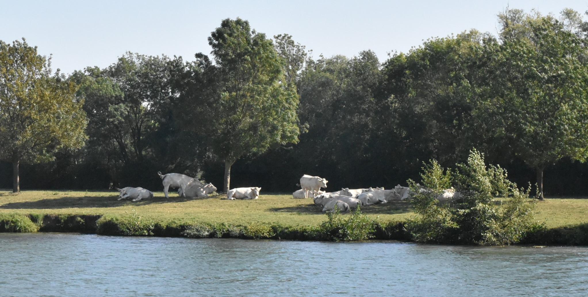 Schau, Kühe! Charolais-Rinder am Ufer der Saône