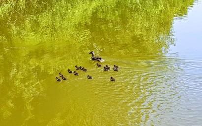 15 kleine Entchen, die mit Mama noch schnell die Kanalseite wechseln müssen!