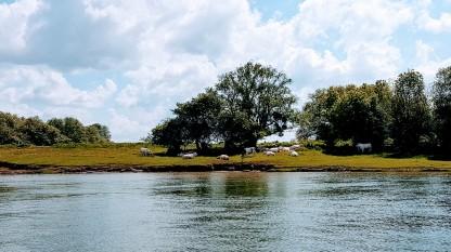 Weidende Charolais-Rinder. Sie haben riesige Weiden und freien Zugang zum Fluss