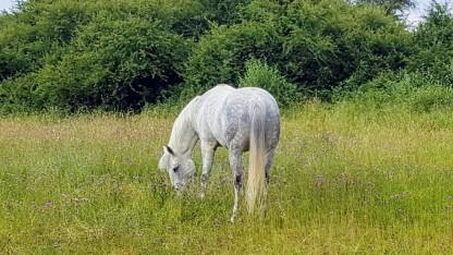 Pferd im Glück. Apfelschimmel auf der wilden Wiese