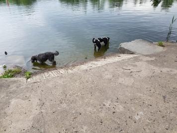 Janusz und Merry kennen die Orte wo sie ins Wasser kennen gut. Wasser trinken und Bäuche kühlen