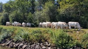 Die Rinder kommen bis auf den Kanaldamm