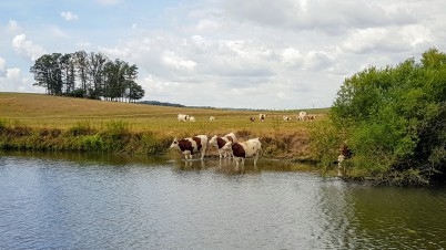 Naturtränke, die Milchkühe gehen einfach in den Fluss wenn sie Durst haben