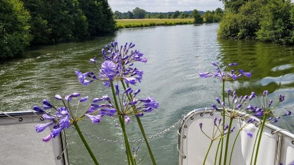 Die beiden Schönlilien (Agapanhtus) auf Deck beginnen zu blühen