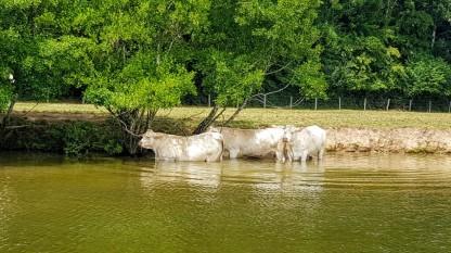 Selbst den Rindern wird es zu heiss, sie suchen Abkühlung im Fluss und unter Bäumen - oder beides gleichzeitig!