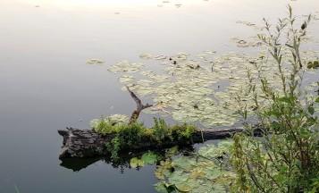 Nahe am Ufer liegt ein alter Baumstamm mitten in den Seerosen im Wasser und die Natur hat ihn bereits erobert