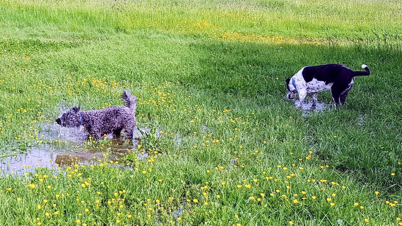 Nach dem Regen sind die Pfützen in den Wiesen willkommene Badewannen. Merry und Janusz vergnügen sich.