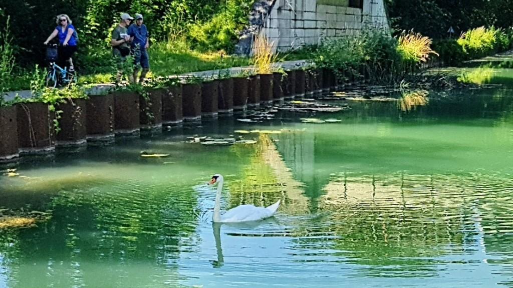 Kanalufer, Schwan und Menschen